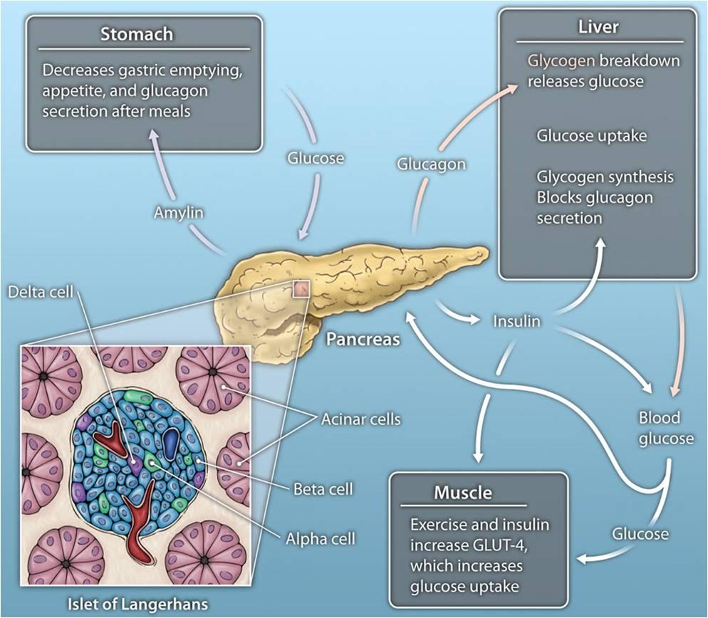 The Artificial Pancreas Diabetes Control
